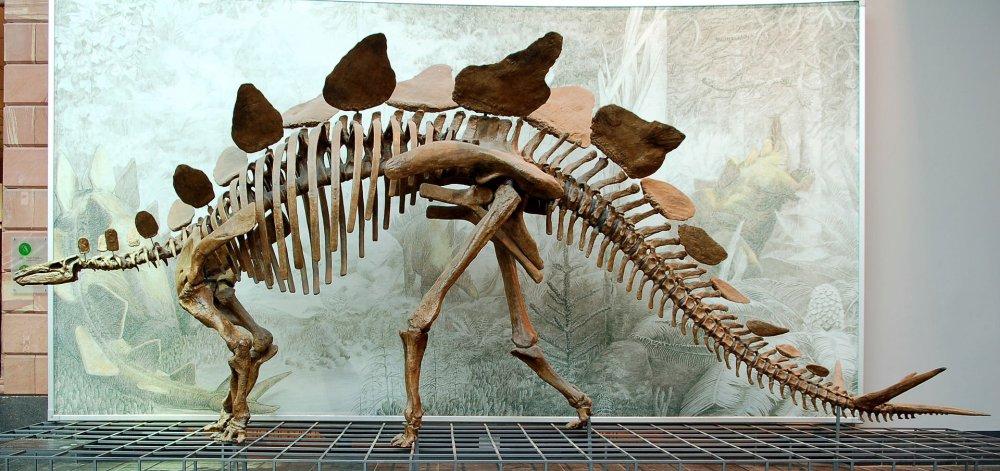Stegosaurus_Senckenberg.thumb.jpg.9363d986c5d67091449f9db272b71c48.jpg