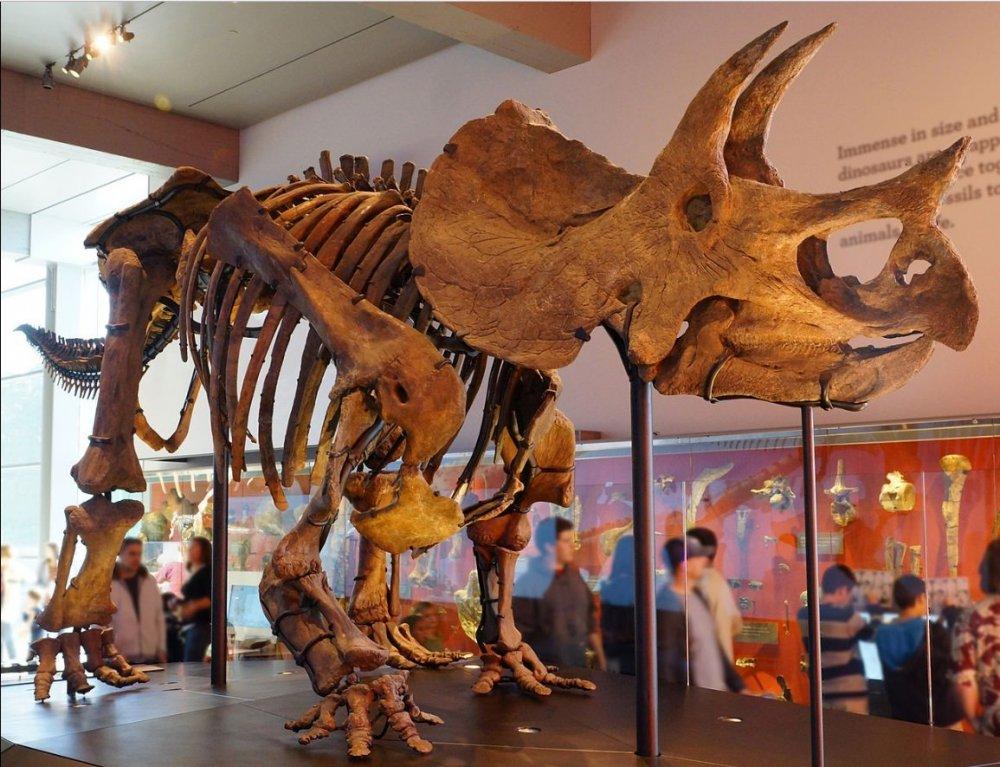 TriceratopsFossile.thumb.jpg.37ba8dbbe92929cc9d14d6f991a91588.jpg