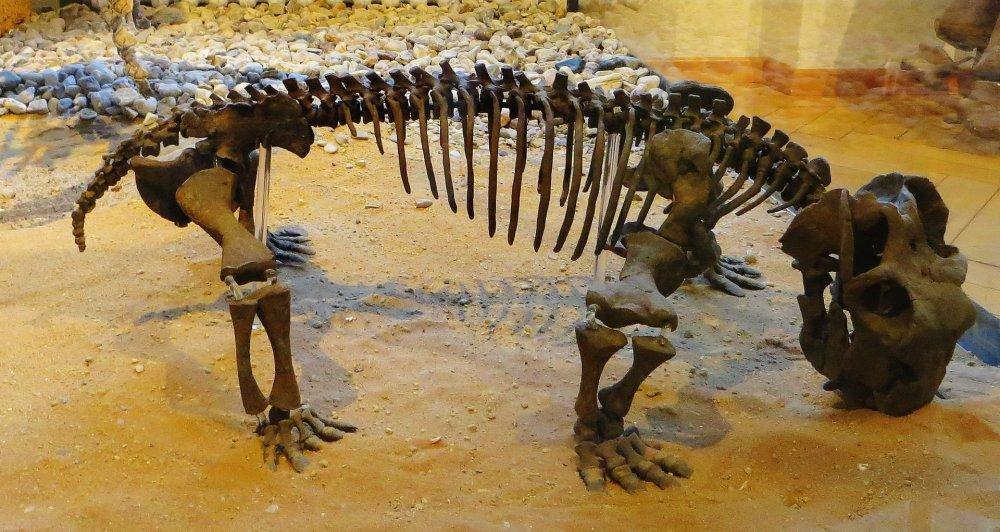 Lystrosaurus_hedini.thumb.JPG.88b050e34e2490f29b8a4a11bd0a528e.JPG