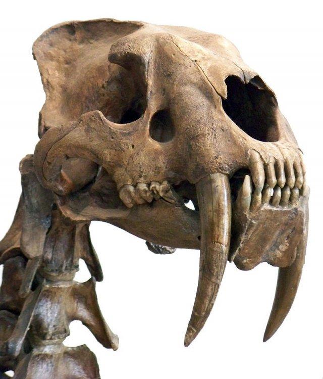 FossileSmilodon.thumb.jpg.228e7d17f743d8af2717694a061736b6.jpg