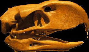 300px-PhorusrhacosLongissimus-Skull-BackgroundKnockedOut-ROM-Dec29-07.png.eb374de6d820f54b769511170fbd8b10.png