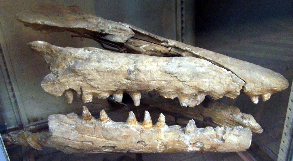 Mosasaurus_skull.thumb.jpg.f2d99f9ade290fed4806dbf1c4633711.jpg